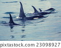 killer, whale, marine 23098927