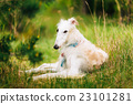 White Gazehound Hunting Dog Sit Outdoor In Summer 23101281