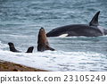 Orca attack a seal on the beach 23105249