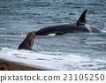 Orca attack a seal on the beach 23105250