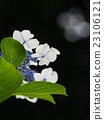 hydrangea 23106121