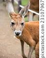 Kangaroo 23107967