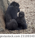 Gorilla Female and a  Baby 23109340