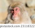 Snow Monkey 23116322