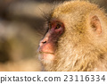Side profile of monkey 23116334