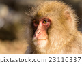 Snow monkey with thick fur 23116337