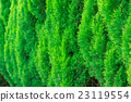 Thuja green texture natural background. close up. 23119554