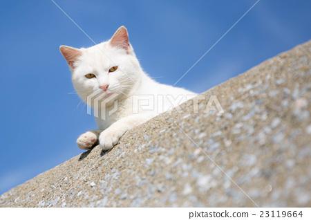 猫 猫咪 白猫 23119664