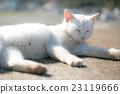 白貓 睡覺 小貓 23119666