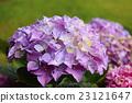 hydrangea, pink, western hydrangea 23121647