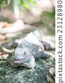 爬行動物 綠鬣蜥 爬蟲類的 23128980