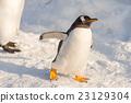 帝王企鵝 企鵝 行走 23129304