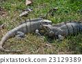 iguana, reptile, animal 23129389