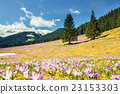 blooming violet crocuses in Tatra Mountains 23153303