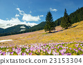 blooming violet crocuses in Tatra Mountains 23153304