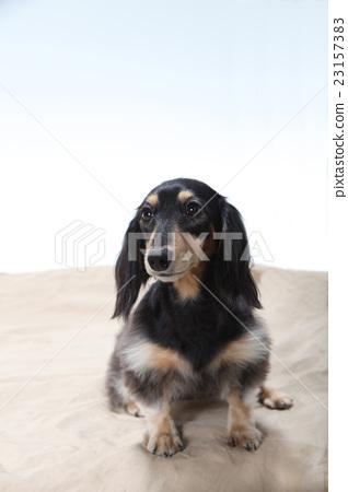 迷你臘腸犬 23157383