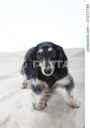 迷你臘腸犬 23157788