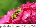 繡球花 青蛙 一隻兩棲動物 23159259