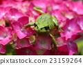 繡球花 青蛙 一隻兩棲動物 23159264