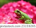 繡球花 青蛙 一隻兩棲動物 23159265