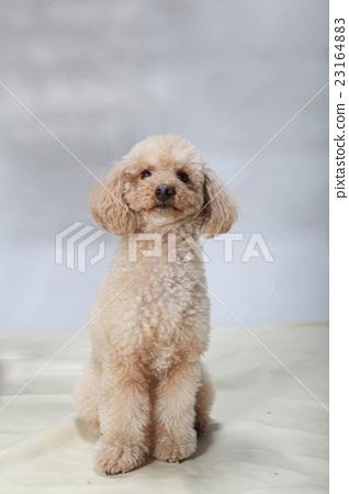玩具貴賓犬 23164883