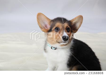 可愛的耳朵小狗 23168808