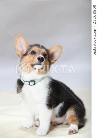 可愛的耳朵小狗 23168809