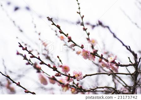 粉紅色的梅花和天空為背景 23173742
