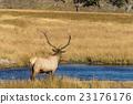 Bull Elk 23176176