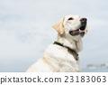 狗 狗狗 拉布拉多犬 23183063