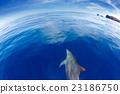 東方寬吻海豚 寬嘴海豚 海豚 23186750