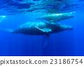 座頭鯨 鯨魚 海面 23186754