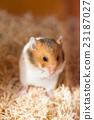 倉鼠 囓齒類的 品嚐 23187027