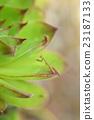 螳螂 螳 蟲子 23187133