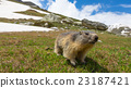 Close up of a cute young funny marmot 23187421