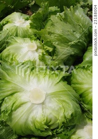 Fresh lettuce immediately after harvest (Takahara vegetables) 23188004