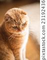貓 貓咪 小貓 23192436