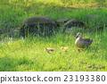 鴨 小雞 幼鳥 23193380