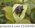 棒球棒 蝙蝠 哺乳動物 23194480