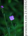 月見草 植物 植物學 23199302