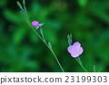 月見草 植物 植物學 23199303