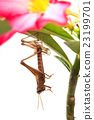 grasshopper molting 23199701
