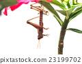 grasshopper molting 23199702