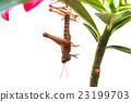 grasshopper molting 23199703