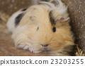 荷蘭豬 動物 小動物 23203255