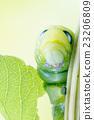 an Daphnis Nerii 23206809
