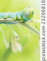 an Daphnis Nerii 23206816