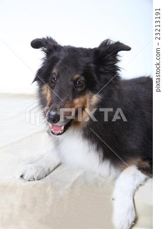 設得蘭群島牧羊犬 23213191