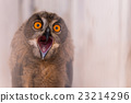 Owl screaming 23214296