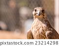 Saker falcon. Falco cherrug 23214298